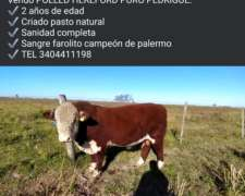 Toros Hereford Puro de Pedrigue