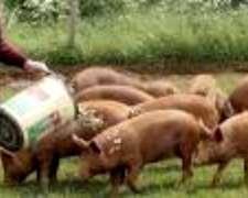 Compro Cerdos Para Faena Y/o Invernada. Zona Dolores Bs As