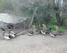 Patos Rouen Clair y Pekin