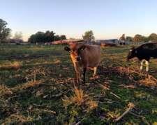 Vendo Vacas Descarte Jersey