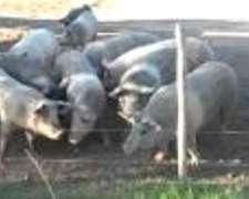 Compro Cerdos Para Faena Y/o Invernada. Dolores Bs As