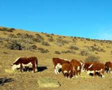 Compro Vaca Preñadas de Cuarta Parición y Vaquillas Negras
