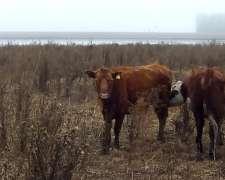 Vacas Preñadas Oportunidad 37.000