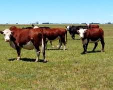 60 Vacas Hereford Preñadas, En Las Flores, Buenos Aires