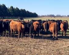 100 Vaquillonas Angus Negro al Parir