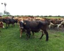 Vacas Nuevas Preñadas Con Bradford