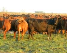 Vacas Puro Controladas Paridas