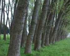 Compro Montes Álamo , Sauce y Eucaliptus