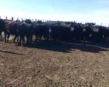 Vacas Preñadas en Laprida, Buenos Aires