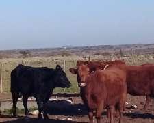 Vendo 76 Vaquillonas Vacias