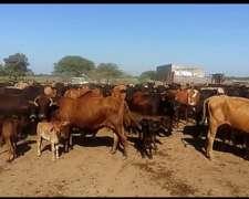 Se Venden Vacas Con Ternero Al Pie Zona De Pinto