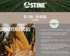 Semilla de Maiz ST 120-90 la Bestia - Semillero Stine
