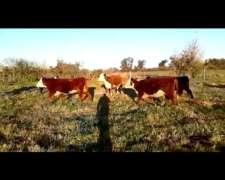 Compro Vacas Preñadas, Vaquillonas Preñadas, Invernada