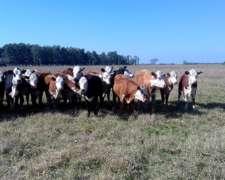 Vendo Hacienda Terneras Vaquilla
