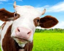 Compro Novillos, Novillitos ,vacas Gordas Para Faena