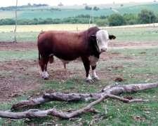 Toro Bradford 50 Hereford 50