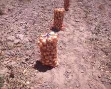 Cebollas Recien Cosechadas De Campo