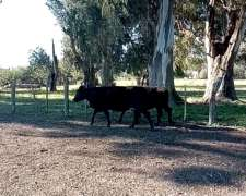 Lote de Vaca CUT Servidas a Revisar Posible Preñez