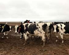 400 Vaquillonas Holando Argentino Preñadas