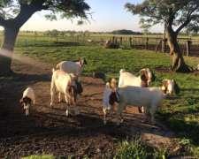 Lote Cabras Boer Puras