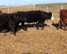 Vacas Preñada de 3/4ta Parición