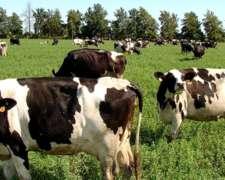 Vendo 300 Vacas Holando Argentino en Producción.