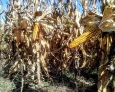 Se Alquila 1030 Has Agricolas a Tres Años en Gonzalez Moreno