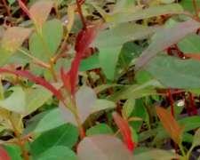 Vendo Plantines De Eucaliptos Grandis