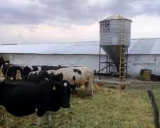 Busco Vacas Lecheras Para Alquilar