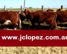 Vacas Hereford Preñadas Excelentes