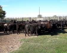 57 Vaquillonas para Entorar de 300 Kilos