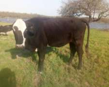 Lote de Vacas, Terneros, Torito y Novillo