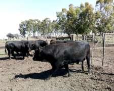 Venta De Toros Angus Negros Y Polled-hereford