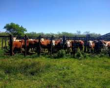 Vendo Novillos Angus/hereford y Caretas, 300 Kg