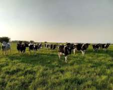 45 Vaquillonas Holando Argentino Preñadas