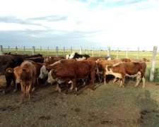 Compro Vacas Invernada , Con Cria , Preñadas , Vaquillas