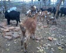 30 Cabras Preñadas Y 1 Machos Anglo Nubian Puros.
