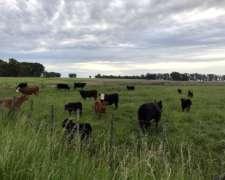 Vacas Con Ternero Al Pie