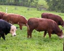 Compro Novillos y Vacas a Rendimiento