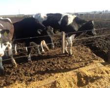 20 Vaquillonas Prenadas 16 Ha Y 4 Cruzas Neocelandes