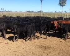 Chaco: 300 Novillos/novillitos (entre 240 Kg y 400 KG)
