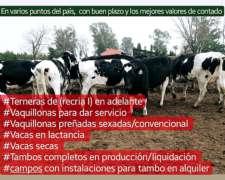 Tambos Compra Venta Alquiler Vacas Vaquillonas Holando