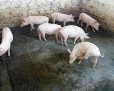 Cerdos Mamones, Lechones y Cachorros
