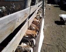 Lote De 30 Cabras