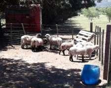 Corderos Hampshire-down Cruza Merino, Excelentes Animales
