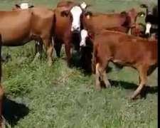 62 Vacas Con 63 Crías