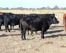 Vacas Aberdeen Angus Colorado Y Negro Preñadas