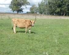 Vendo Lote De 16 Vacas Lecheras 10 En Ordeñe