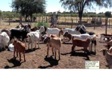 Vendo Cabras Boer Y Anglo Nubia