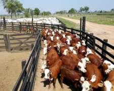 120 Vacas Preñadas Nuevas